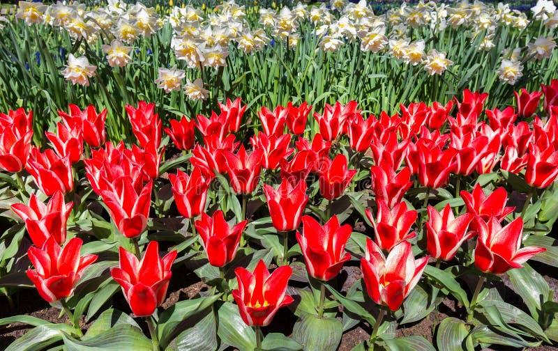 Campo das flores com tulipas e os narcisos amarelos vermelhos fotos de stock