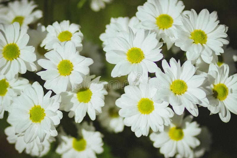 Campo das margaridas brancas na primavera imagem de stock