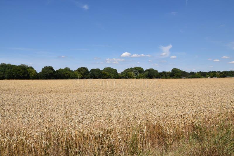 Campo das orelhas do trigo em Sunny Sky Background azul foto de stock