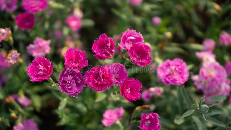 Campo das pétalas cor-de-rosa bonitas da flor da flor do cravo nas folhas verdes, conhecidas como o rosa de cravo-da-índia imagens de stock royalty free