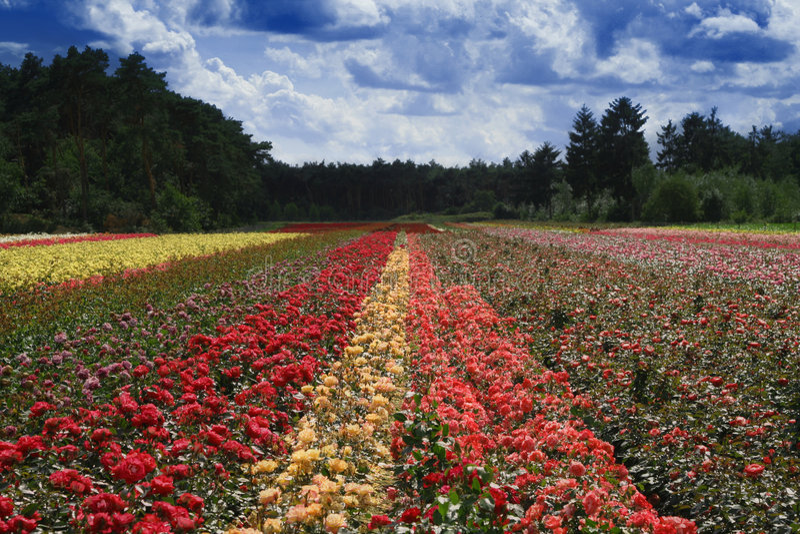 Campo das rosas fotos de stock