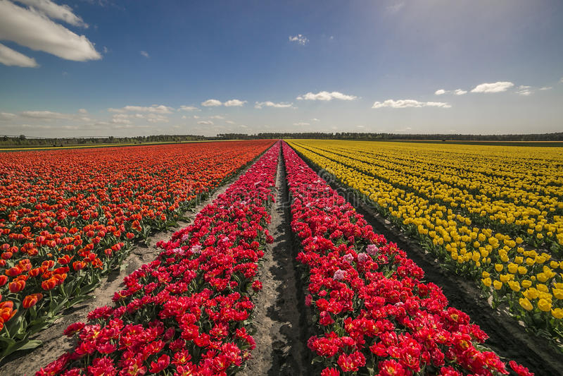 Campo das tulipas no Bordéus fotos de stock