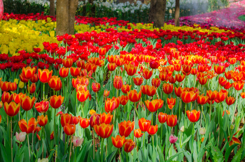 Campo das tulipas no parque imagem de stock