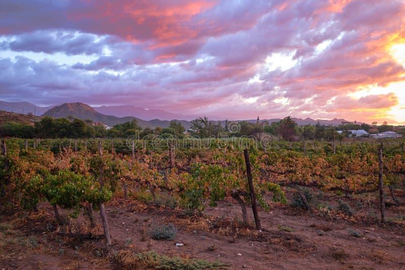 Campo das uvas no Karoo foto de stock