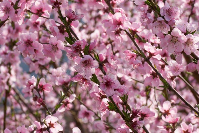 Campo de árvores de pêssego de florescência fotografia de stock royalty free