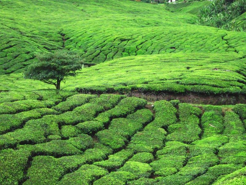 Campo de árvores do chá imagem de stock