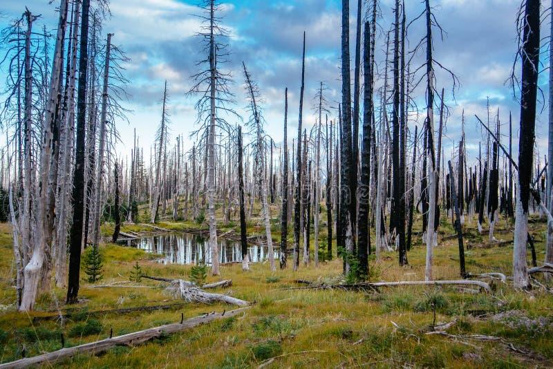 Campo de árvores inoperantes queimadas das coníferas com ramos ocos na floresta velha bonita após o incêndio violento devastador  imagem de stock