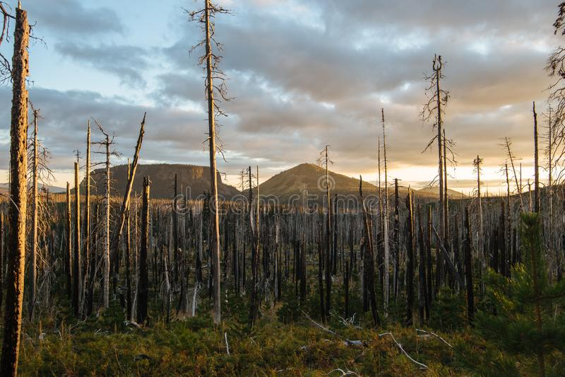 Campo de árvores inoperantes queimadas das coníferas com ramos ocos na floresta velha bonita após o incêndio violento devastador  foto de stock royalty free