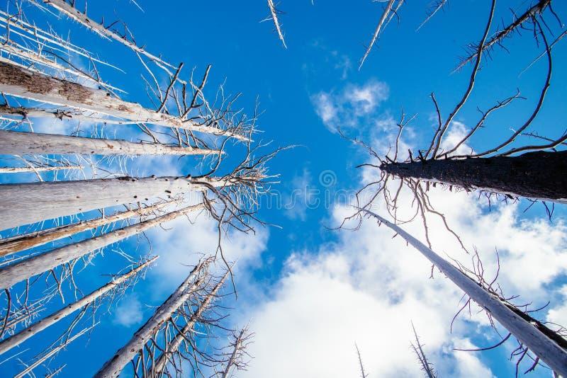 Campo de árvores inoperantes queimadas das coníferas com ramos ocos na floresta velha bonita após o incêndio violento devastador  fotografia de stock