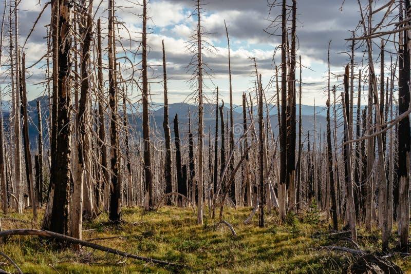 Campo de árvores inoperantes queimadas das coníferas com ramos ocos na floresta velha bonita após o incêndio violento devastador  imagens de stock royalty free