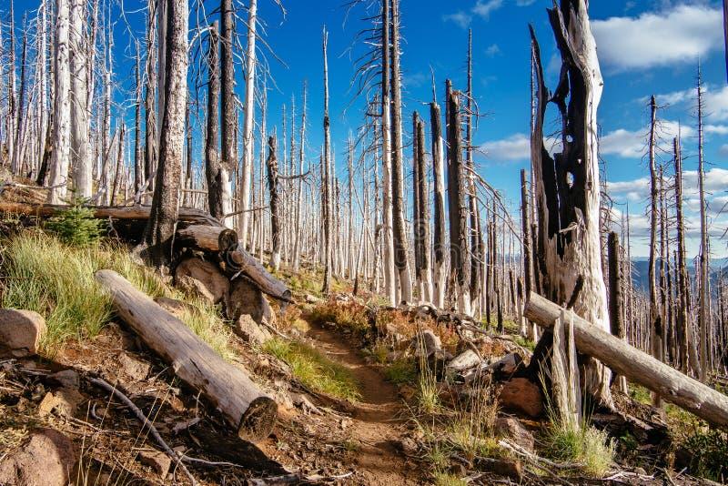 Campo de árvores inoperantes queimadas das coníferas com ramos ocos na floresta velha bonita após o incêndio violento devastador  fotos de stock