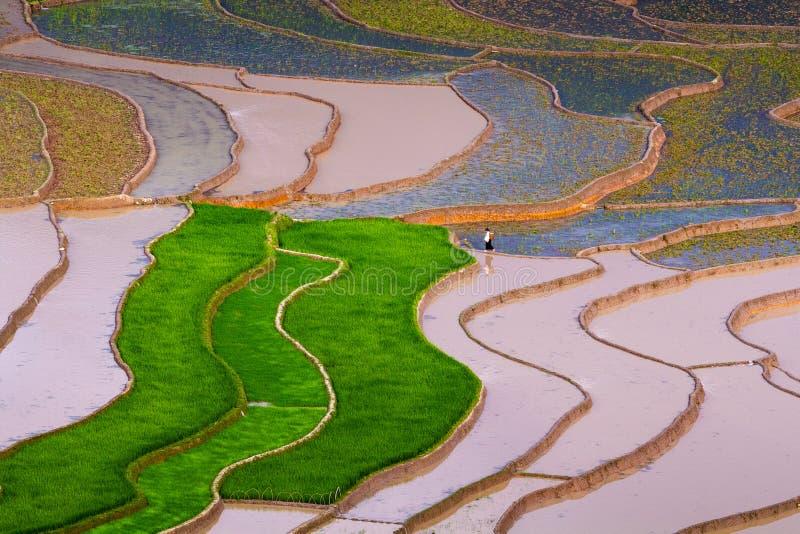 Campo de almofada do arroz imagens de stock royalty free