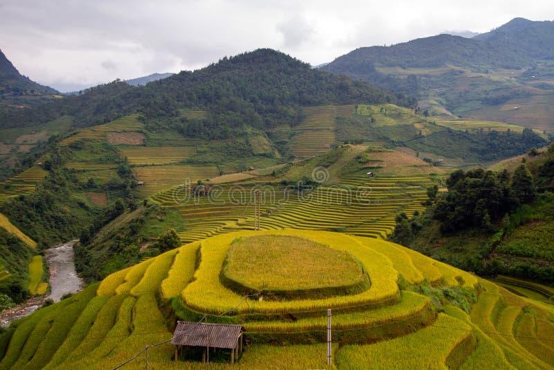 Campo de almofada do arroz fotos de stock royalty free
