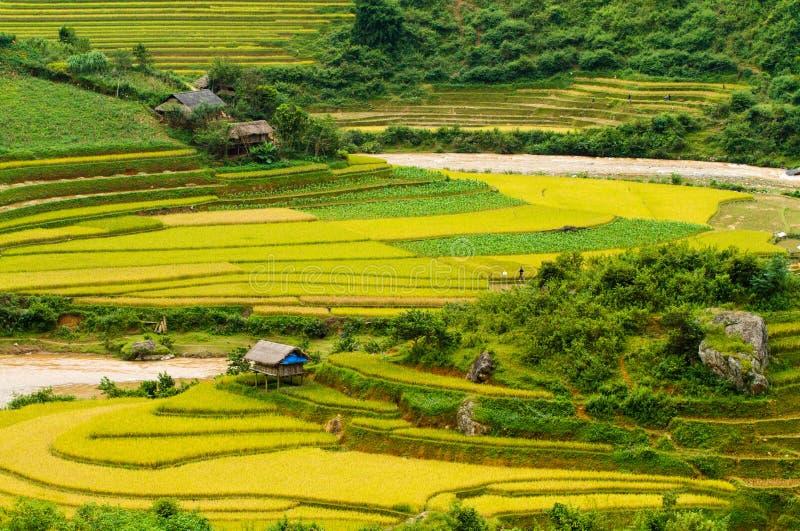 Campo de almofada do arroz foto de stock