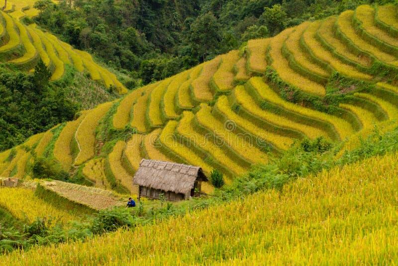 Campo de almofada do arroz imagem de stock royalty free