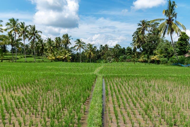 Campo de almofada em Ubud Bali fotos de stock royalty free