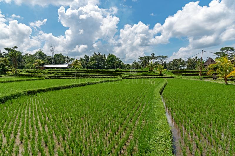 Campo de almofada em Ubud Bali fotos de stock