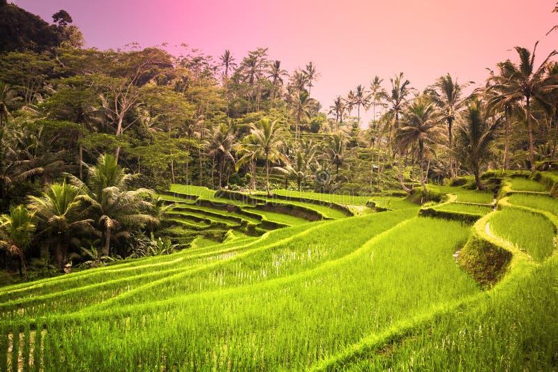 Campo de almofada luxúria de Bali cedo na manhã imagens de stock royalty free