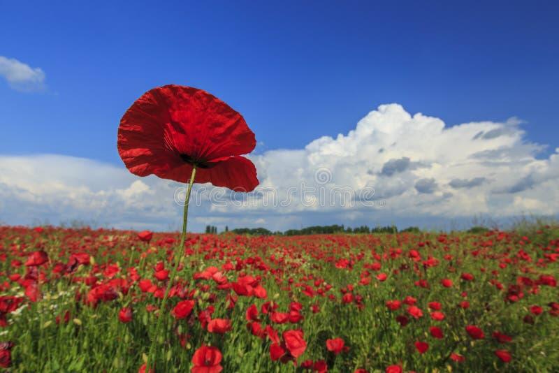 Download Campo De Amapolas Rojas Salvajes Imagen de archivo - Imagen de llano, floración: 41917647