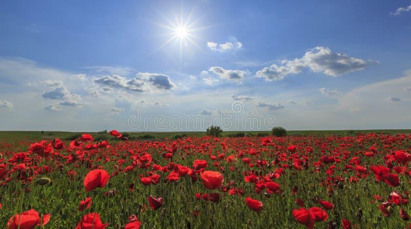 Download Campo De Amapolas Rojas Salvajes Foto de archivo - Imagen de floración, botánica: 41917708