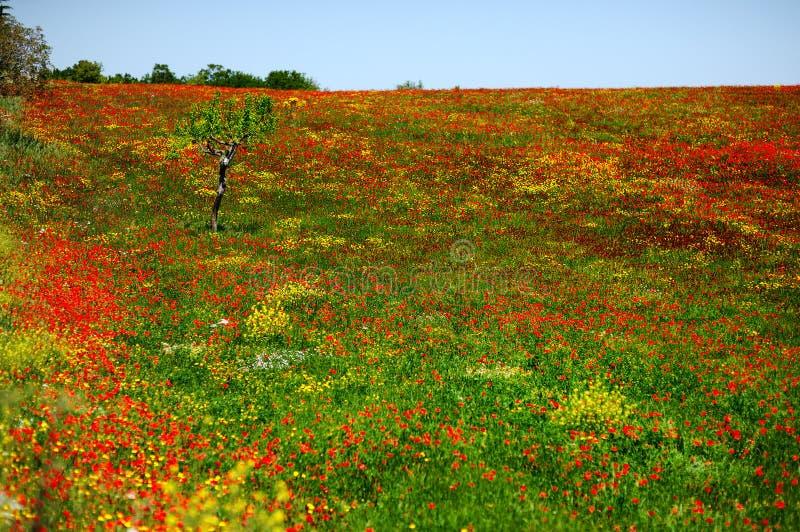 Download Campo De Amapolas Rojas Y Amarillas En Apulia, Italia Imagen de archivo - Imagen de llano, rojo: 41912525