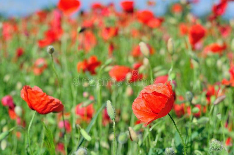 Campo de amapolas salvajes rojas fotografía de archivo libre de regalías