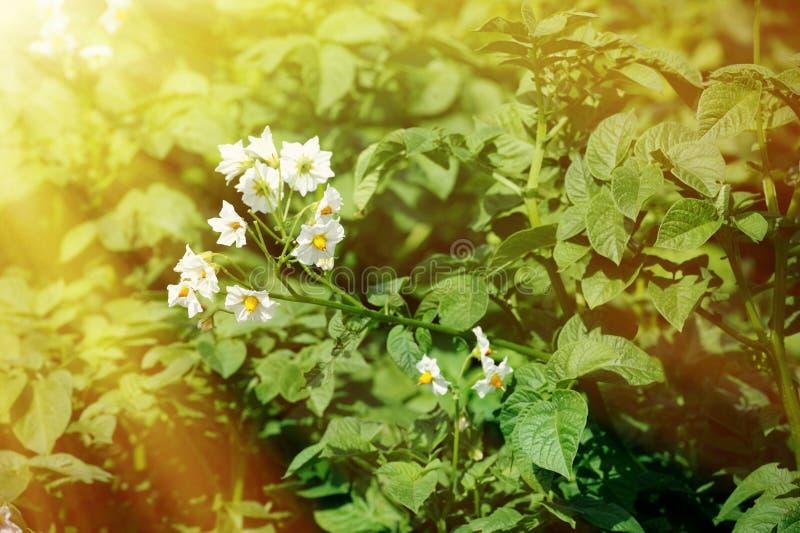 Campo de arbustos verdes da batata fotografia de stock