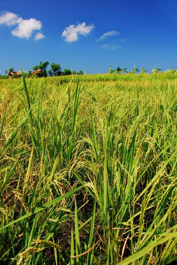 Campo de arroz foto de archivo libre de regalías