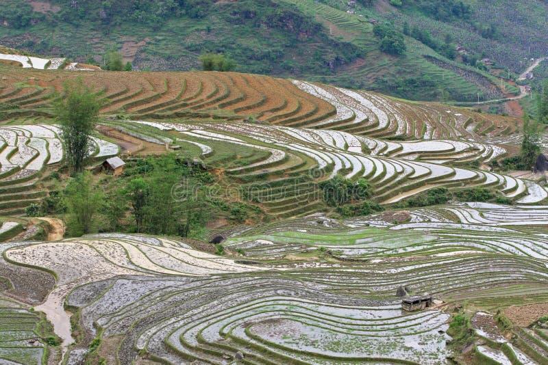 Campo de arroz al principio de la estación foto de archivo