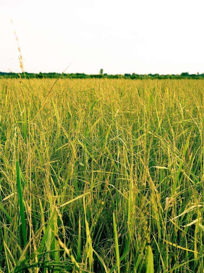 Campo de arroz amarelo e verde de fundo desfocado foto de stock royalty free