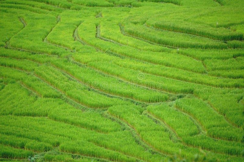 Campo de arroz Changmai foto de archivo