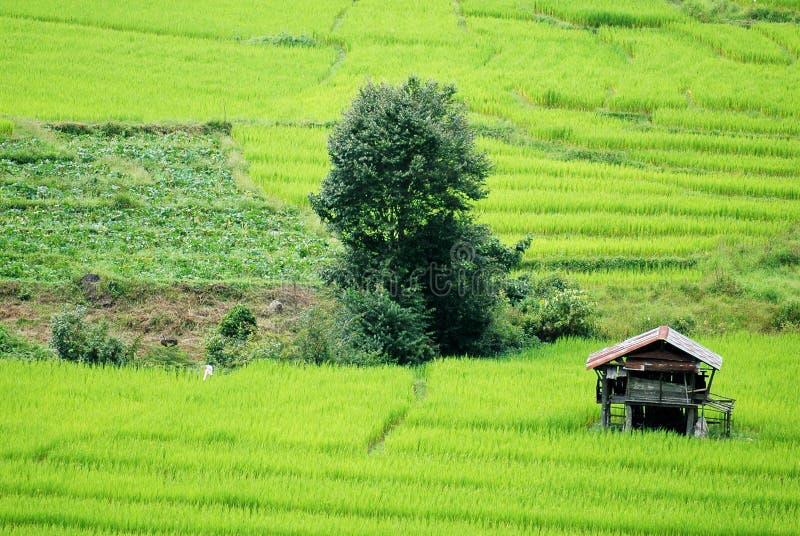 Campo de arroz Changmai foto de archivo libre de regalías
