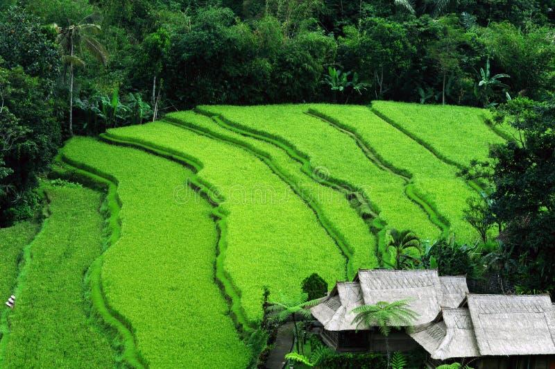 Campo de arroz colgante del Balinese fotografía de archivo