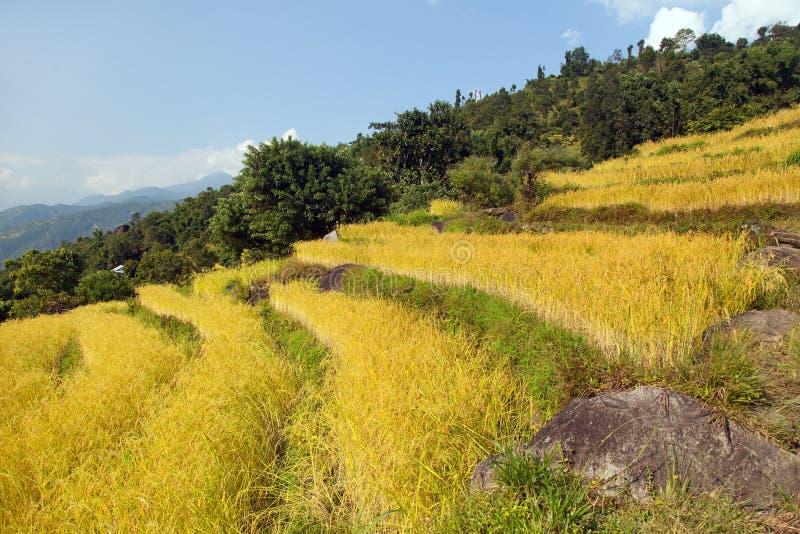 Campo de arroz colgante de oro de arroz en paisaje himalayan hermoso de las montañas de Himalaya de Nepal imagen de archivo