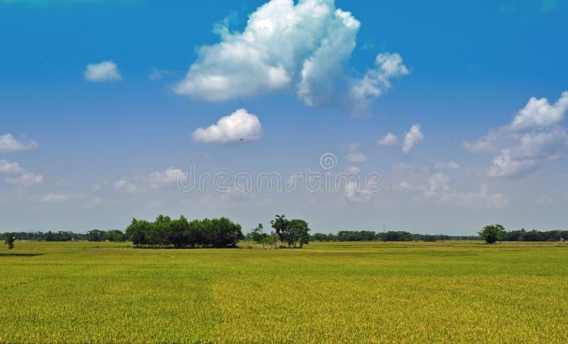 Campo de arroz con el cielo azul fotos de archivo libres de regalías