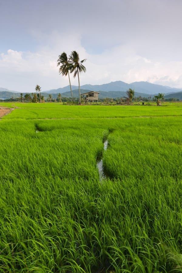 Campo de arroz con el cielo azul en Kota Marudu, Sabah, Malasia del este imagenes de archivo