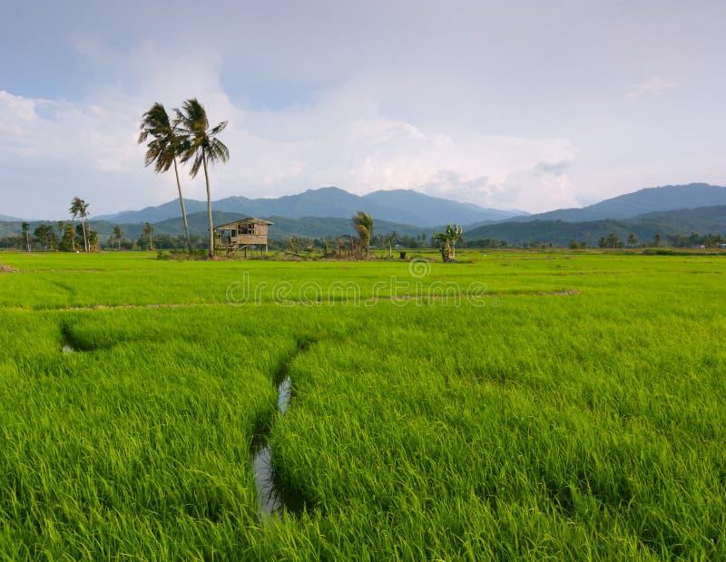 Campo de arroz con el cielo azul en Kota Marudu, Sabah, Malasia del este foto de archivo