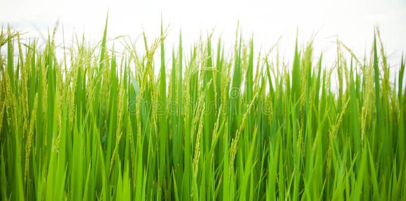Campo de arroz de arroz imagenes de archivo
