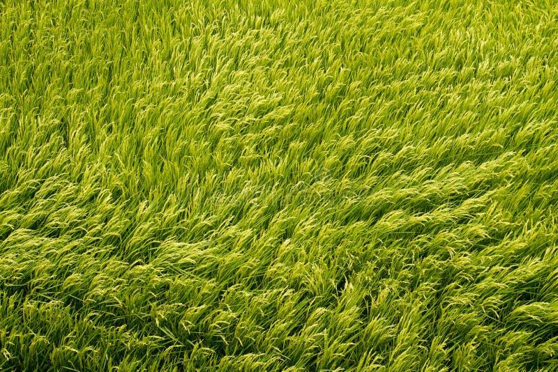 Campo de arroz de oro de la visión superior fotografía de archivo libre de regalías
