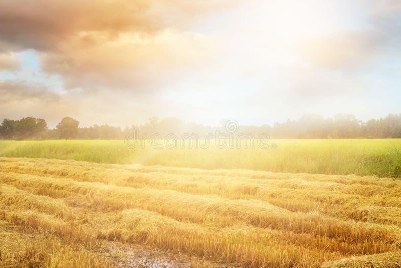 Campo de arroz después de la cosecha y algo todavía que crece por la mañana imágenes de archivo libres de regalías