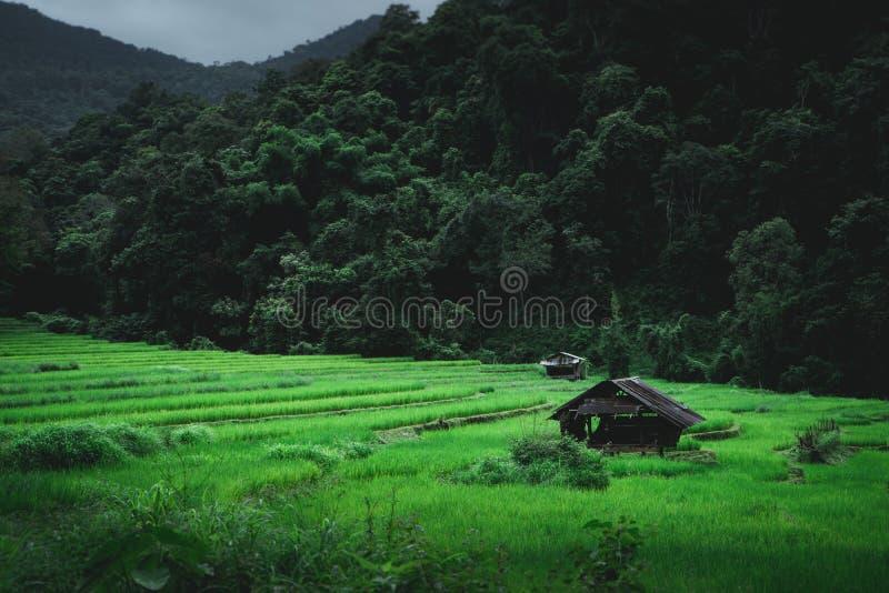 Campo de arroz en la estación de lluvias fotografía de archivo libre de regalías