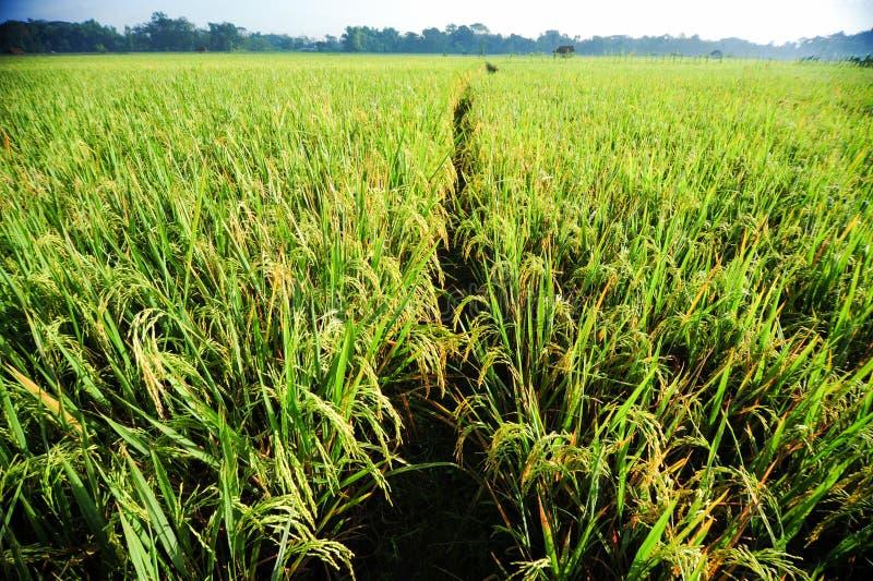 Campo de arroz en la mañana imágenes de archivo libres de regalías