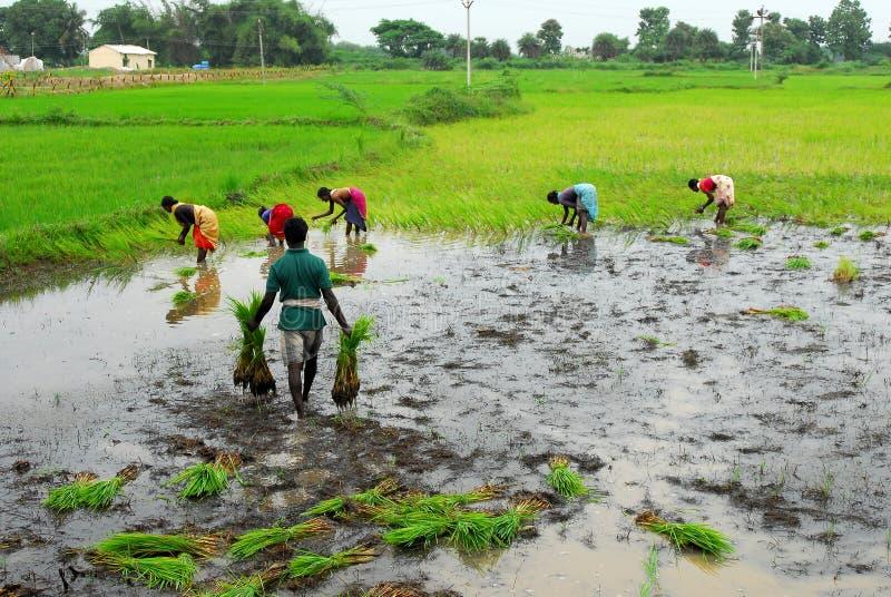Campo de arroz en Tamil Nadu, la India imagen de archivo libre de regalías