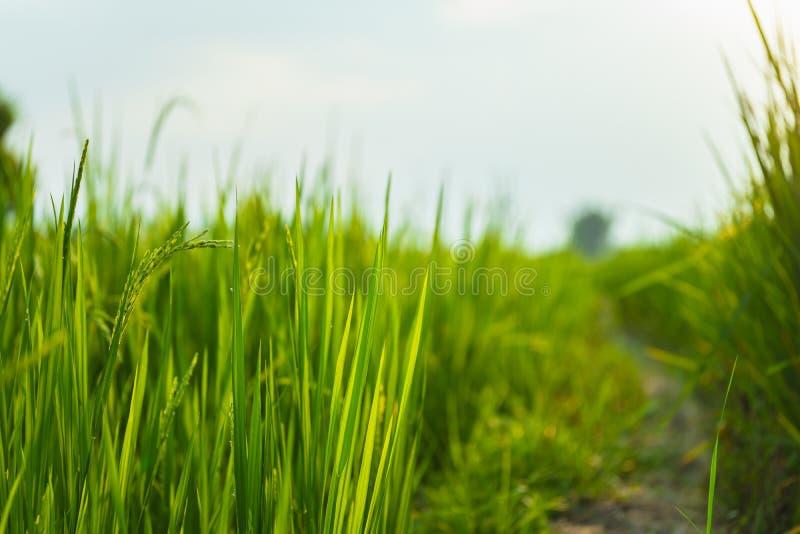 Campo de arroz de granjero y sol por la mañana, en Tailandia imagen de archivo