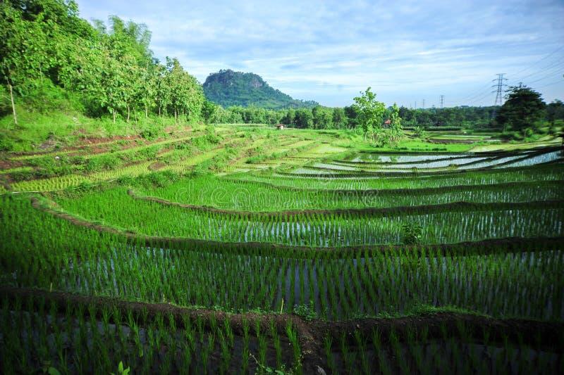 Campo de arroz de la terraza del cielo azul en la mañana fotos de archivo