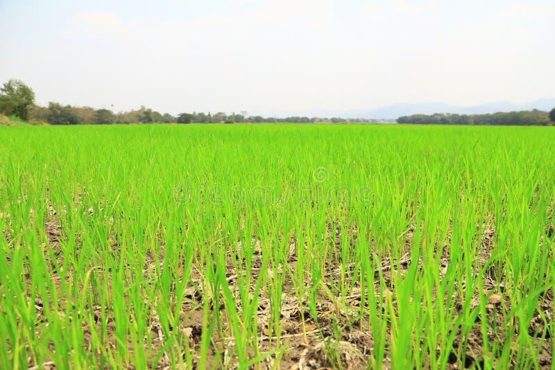 Campo de arroz o campo del arroz foto de archivo libre de regalías