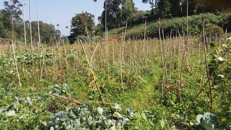 Campo de arroz Sri Lanka imagenes de archivo
