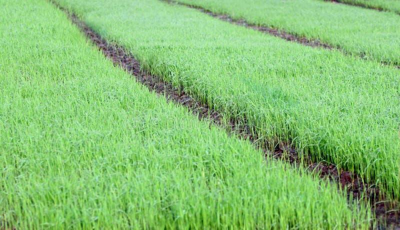 Campo de arroz verde foto de archivo