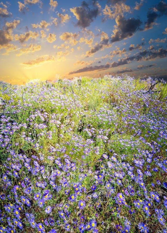 Campo de asteres púrpuras fotografía de archivo