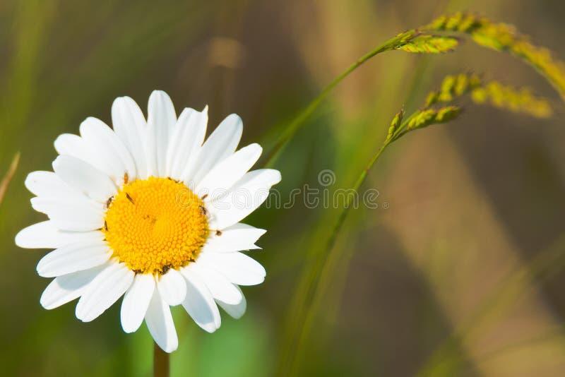 Campo de aterrizaje - vulgare del Leucanthemum de la flor blanca en el prado imagen de archivo
